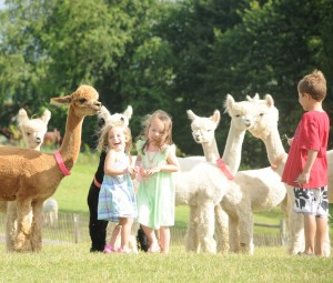 Children having fun with alpacas...